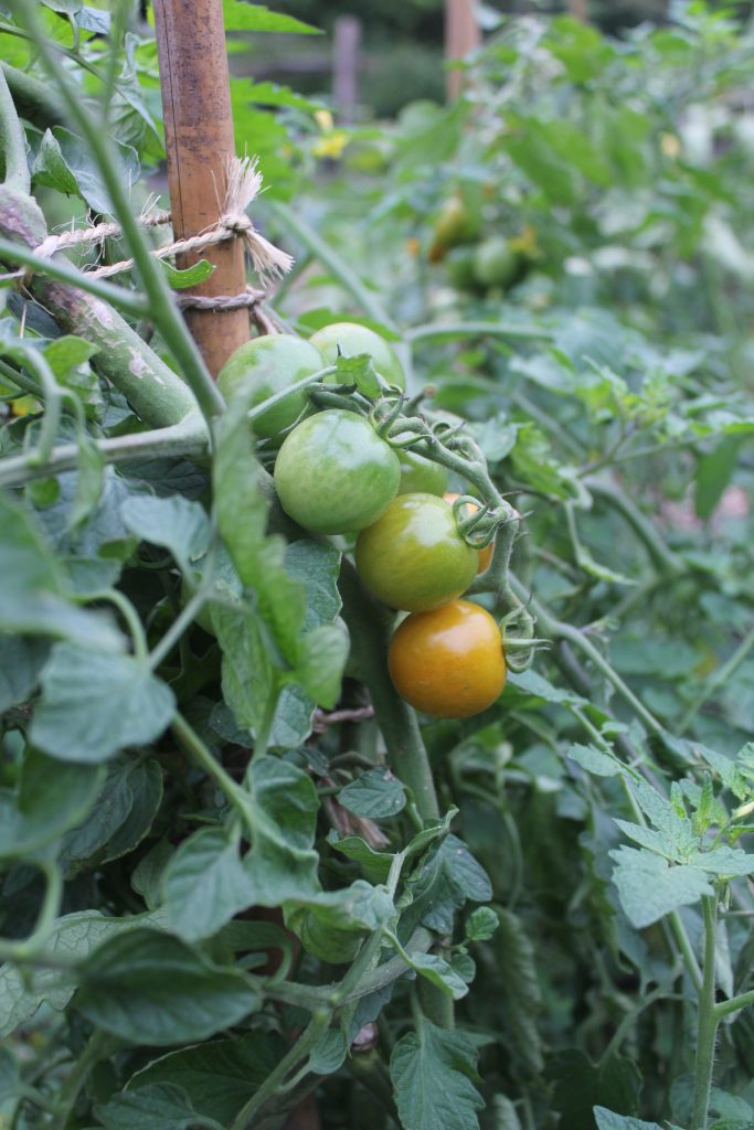 Tomate 'Orangeto'
