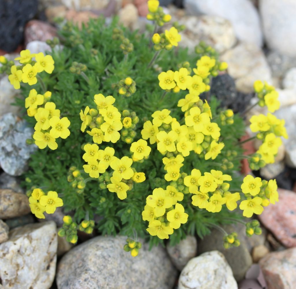 plante alpine